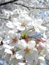 09cherry_blossoms_up