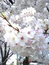 09cherry_blossoms_up2