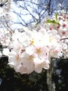 09cherry_blossoms_up3