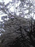 2011_cherry_blossom