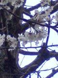 2011_cherry_blossom_up