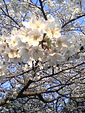 2012sakura_tasogare