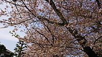 18_4_1_sakura